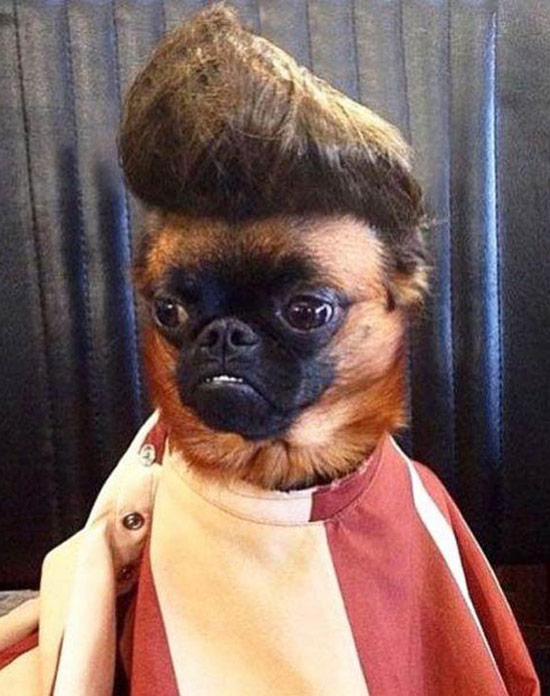 funny-dog-pug-pompador-hair